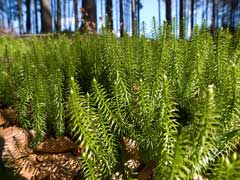 Плау́н булавови́дный (Lycopodium clavatum) - вечнозеленое споровое растение из семейства плауновых (Lycopodiaceae)...