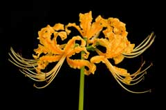 Lycoris aurea Golden Spider Lily