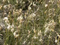 Lygeum Spartum Albardine Lygeum Pfaf Plant Database