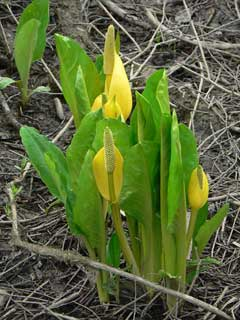 Lysichiton americanus Yellow Skunk Cabbage, American skunkcabbage