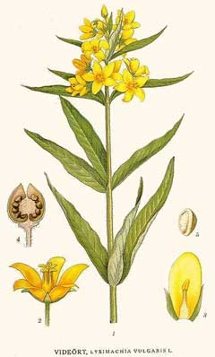 Lysimachia Vulgaris Yellow Loosestrife, Garden Yellow Loosestrife