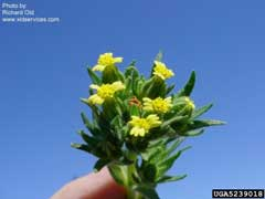 Madia glomerata Mountain Tarweed