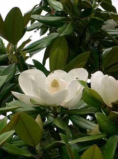 HOA GIEO TỨ TUYỆT - Page 3 MagnoliaGrandiflora2
