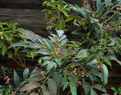 Mahonia gracilipes