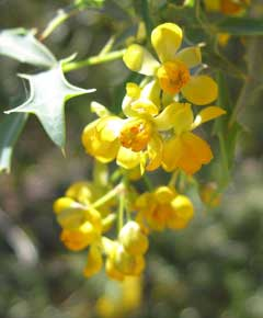 Mahonia haematocarpa Mexican Barberry, Red barberry