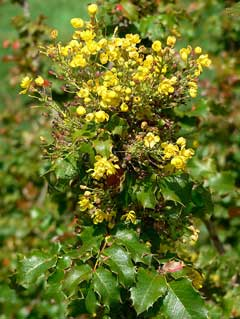 Mahonia pinnata California Barberry, Wavyleaf barberry, Island barberry, Creeping Holly Grape