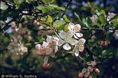 Malus_angustifolia Southern Crab, Southern crab apple