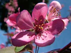 Malus coronaria Garland Crab, Sweet crab apple