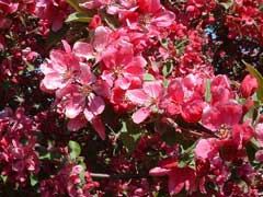 Malus floribunda Japanese Crab, Japanese flowering crab apple