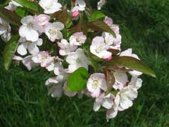 Malus hupehensis Chinese Crab, Chinese crab apple, Tea Crabapple,  Flowering Tea Crabapple
