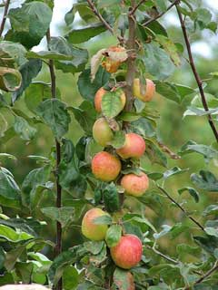 Malus pumila Paradise Apple, Common Apple, Apple Tree