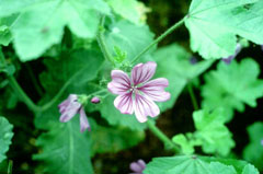Malva sylvestris Mallow, High mallow, French Hollyhock, Common Mallow, Tree Mallow, Tall  Mallow