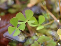 Marsilea quadrifolia Water Clover, European waterclover