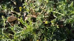 Matricaria matricarioides Pineapple Weed