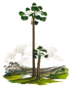 Mauritia flexuosa Buriti Palm, Aguaje Palm