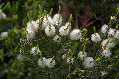 Melaleuca alternifolia Tea Tree