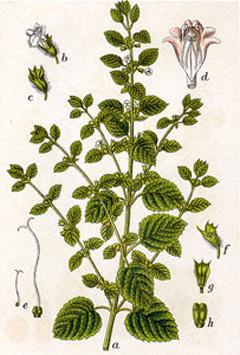 melissa officinalis lemon balm common balm bee balm sweet balm