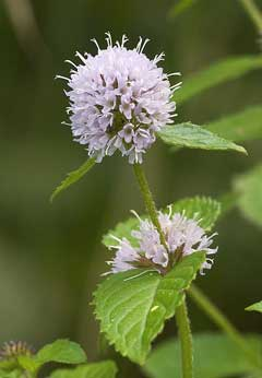 Mentha aquatica Water Mint