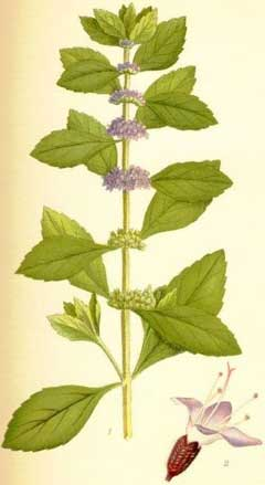 Prairie Moon Nursery :: Seeds :: Mentha arvensis (Wild Mint)