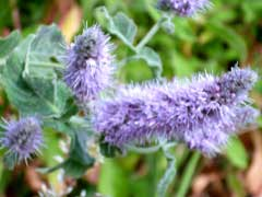 WILD MINT – Mentha Longifolia By The Botanist Islay Dry Gin
