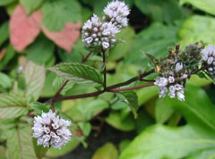 Mentha x piperita officinalis White Peppermint