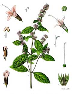 Mentha x piperita vulgaris Black Peppermint