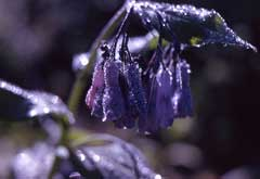 Mertensia ciliata Mountain Bell, Tall fringed bluebells