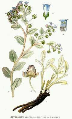 Mertensia maritima Oyster Plant PFAF Plant Database
