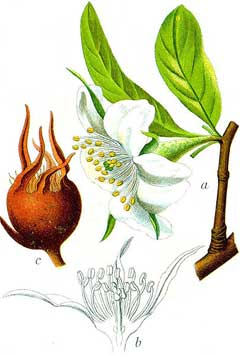 Mespilus germanica Medlar