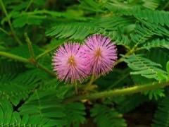 a mimosa pudica leveleinek féreghajtó hatása