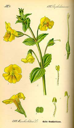 Mimulus guttatus Yellow Monkey Flower, Seep monkeyflower