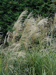 Miscanthus sinensis Eulalia, Chinese silvergrass, Silver Feather, Eulalia Grass, Japanese Silver Grass, Ornamental Grass