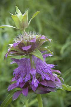Monarda citriodora Lemon Bergamot, Lemon beebalm. Lemon Mint