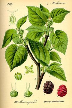 Morus nigra Black Mulberry