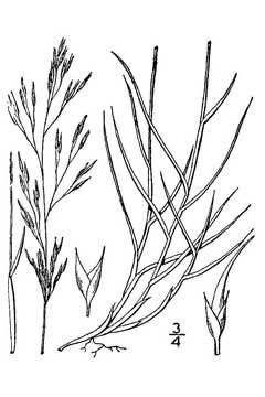 Muhlenbergia Pungens Praire Dropseed Sandhill Muhly Pfaf