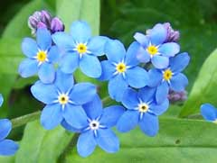 Myosotis scorpioides Water Forget-Me-Not, True forget-me-not