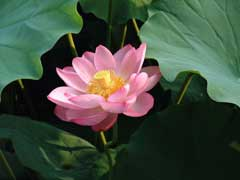 Nelumbo nucifera Sacred Water Lotus