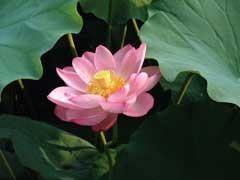 Nelumbo nucifera sacred water lotus sacred lotus pfaf plant database nelumbo nucifera sacred water lotus sacred lotus mightylinksfo