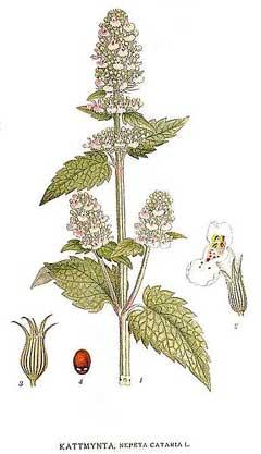 Liste de plantes pour les soins NepetaCataria