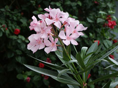 Nerium Oleander, Rose Bay