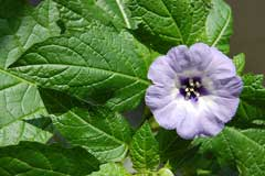 Nicandra physaloides Shoo Fly
