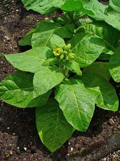 nicotiana rustica wild tobacco aztec tobacco pfaf plant database. Black Bedroom Furniture Sets. Home Design Ideas