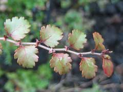 Nothofagus fusca Red Beech
