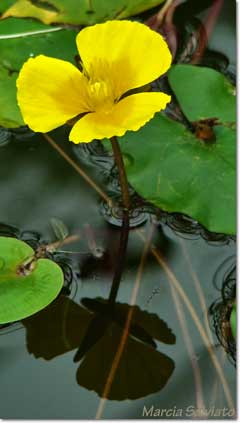 Nuphar lutea Common Spatterdock, Yellow pond-lily, Varigated yellow pond-lily