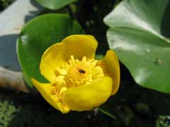 Nuphar pumila Yellow pond-lily