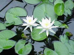 Nymphaea odorata Fragrant Water Lily, American white waterlily