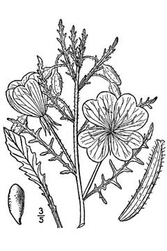 Oenothera albicaulis Whitest Evening Primrose