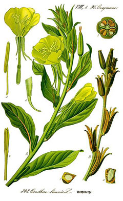 Oenothera biennis Evening Primrose, Sun Drop, Common evening primrose
