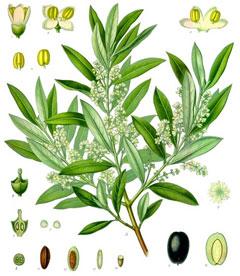 olea europaea olive african olive european olive pfaf. Black Bedroom Furniture Sets. Home Design Ideas
