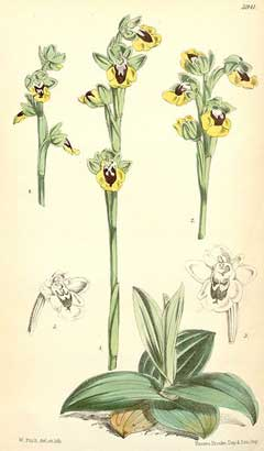 Ophrys lutea Yellow Bee Orchid
